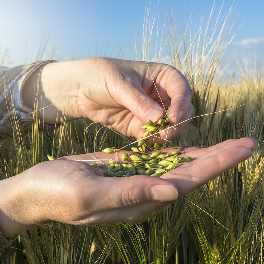 Image of barley seed in farmer's hand